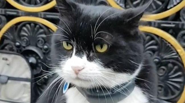 """Londra, va in pensione il gatto Palmerston: l'""""acchiappatopi capo"""" del ministero degli Esteribritannico"""