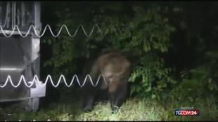 Trento, preso l'orso M57 dopo l'aggressione a un carabiniere
