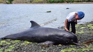"""Mauritius, 17 delfini morti si arenano sulla spiaggia, gli ambientalisti: """"Uccisi dalla marea nera"""""""