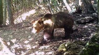 Trentino,nuovamente catturato l'orso Papillon