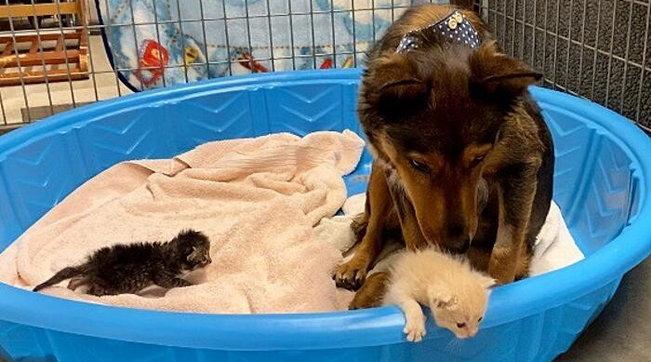 """Usa, i suoi cuccioli muoiono prematuri: la cagnolina """"adotta"""" i gattini rimasti orfani"""