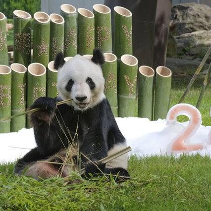 Giappone, il panda Eimei compie 28 anni: è il più anziano al mondo in cattività