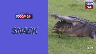 Tartaruga contro alligatore: il finale è a sorpresa