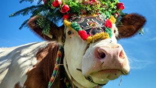 Settembre: gli animali in transumanza verso le valli