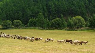 Transumanza: quando sulla passerella sfila il bestiame