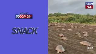 Tartarughe invadono la spiaggia per deporre le uova: lo spettacolo è mozzafiato