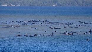 Tasmania, centinaia di balene spiaggiate: già morte più di 90