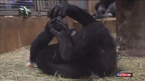 E' nato Moke, il baby di gorilla dello zoo di Washington