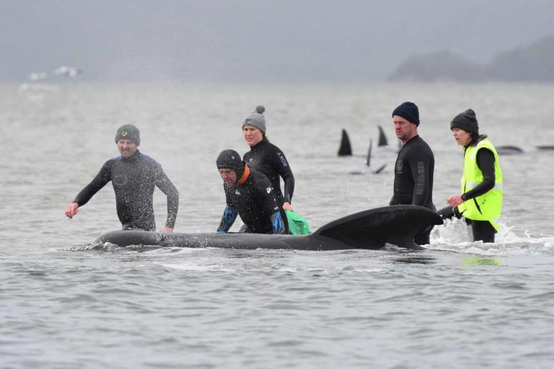 Tasmania, morte 380 delle balene spiaggiate: salvati 50 esemplari