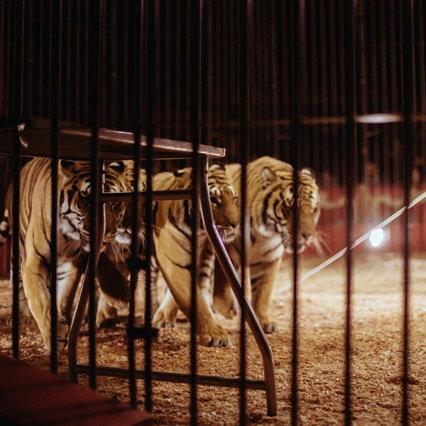 La Francia vieta la fauna selvatica nei circhi: lo spettacolo si ferma per cinque anni