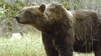 """Il Tar di Trento boccia il ricorso sullo stop della cattura dell'orsa JJ4, Costa: """"Battaglia continua"""""""