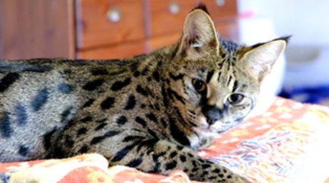 Francia, acquistano un gatto Savannah su Internet: dopo qualche giorno scoprono che è una tigre