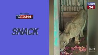 Leoni e ippopotami scheletrici, lo zoo degli orrori