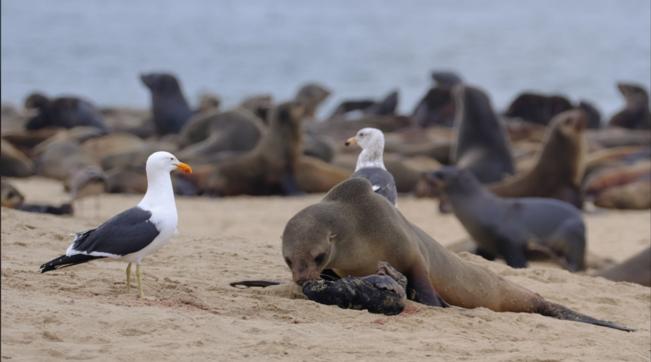 Namibia, più di 12mila cuccioli di foca trovati morti sulle coste