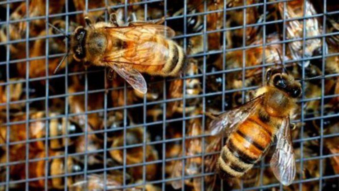 Strage di api in Lombardia: 9 milioni di esemplari uccisi dai pesticidi