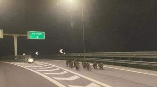 Cinghiali in autostrada, la foto diventa virale