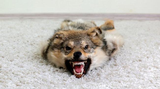 In bocca al lupo o rompere le scatole: perché si dice così?