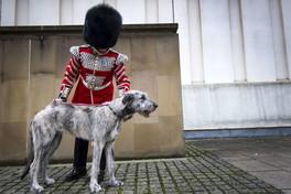 Ecco Turlough Mor, la mascotte del reggimento canino delle Guardie irlandesi
