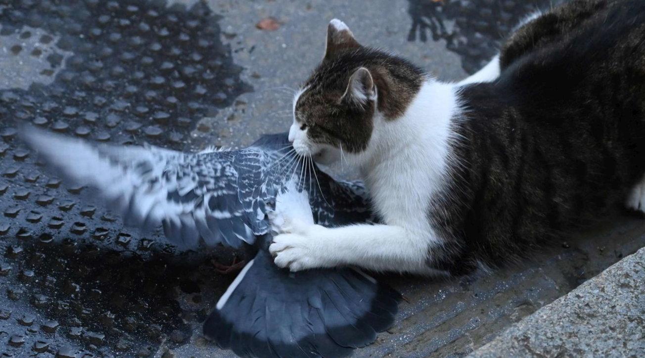 Gb, il gatto Larry ruba la scena a Downing St. e attacca un piccione