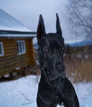 Sguardo da duro e orecchie a punta: ecco Enzo, l'alano che assomiglia a Batman