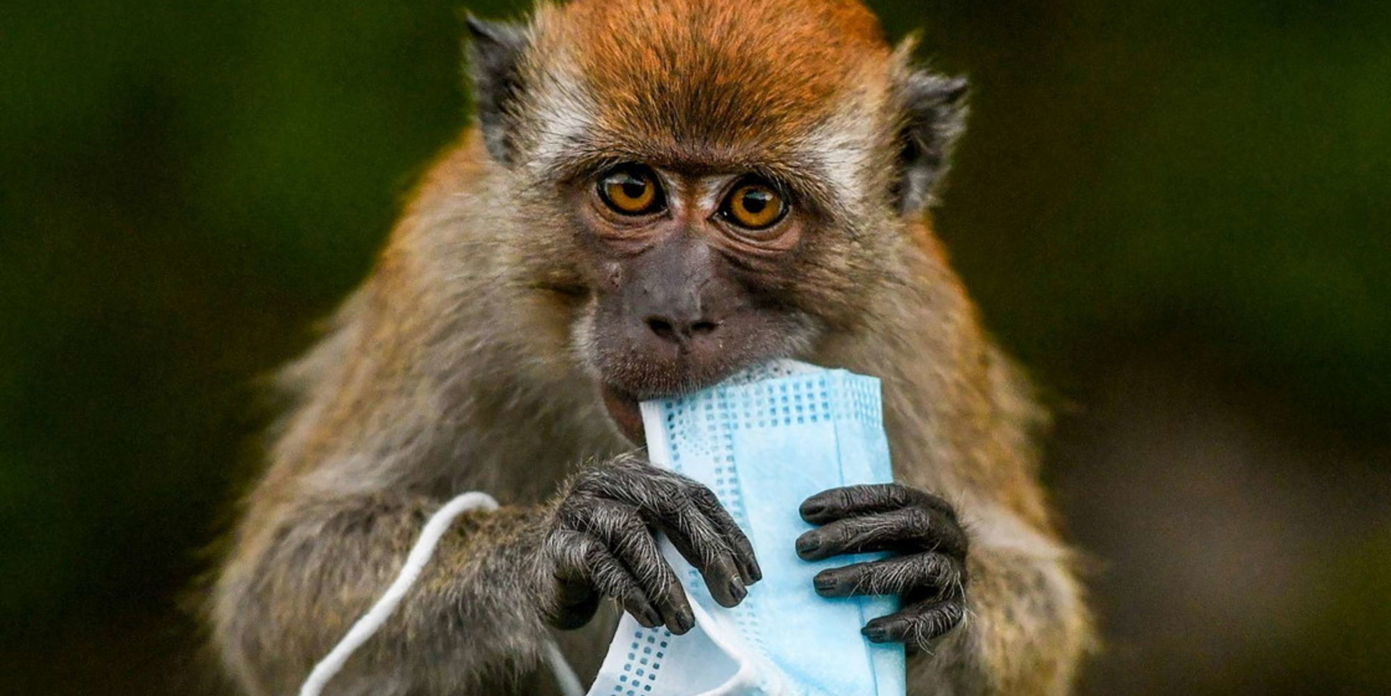 Inquinamento da Covid: sopravvivenza fauna in pericolo | Mascherine abbandonate, macachi rischiano soffocamento