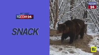 Romania, orso torna in libertà dopo 20 anni: nella foresta continua a girare in tondo