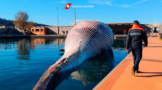 Balenottera spiaggiata trasportataaNapoli: esami sul mistero della morte