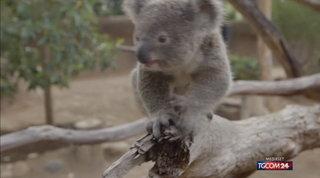 Australia, koala a rischio estinzione dopo gli incendi