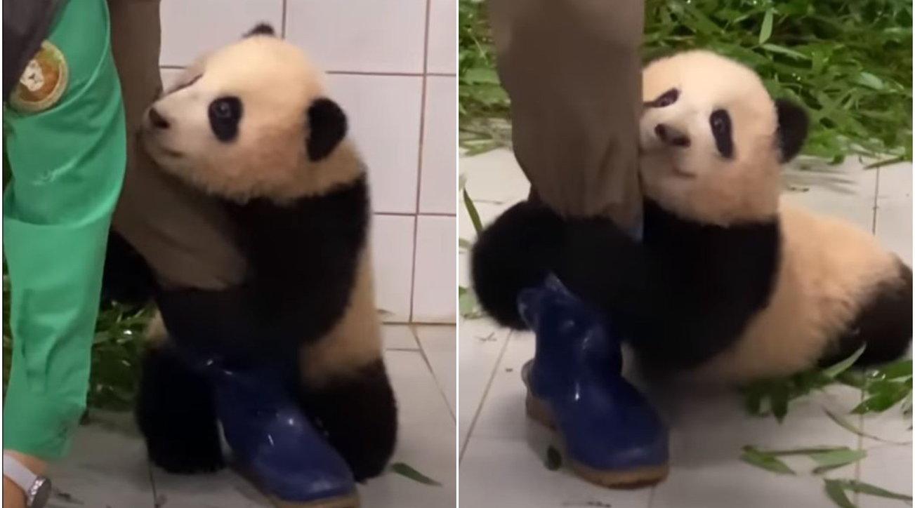 Corea del Sud, il cucciolo di panda non vuole lasciar andare il guardiano dello zoo: il video è virale