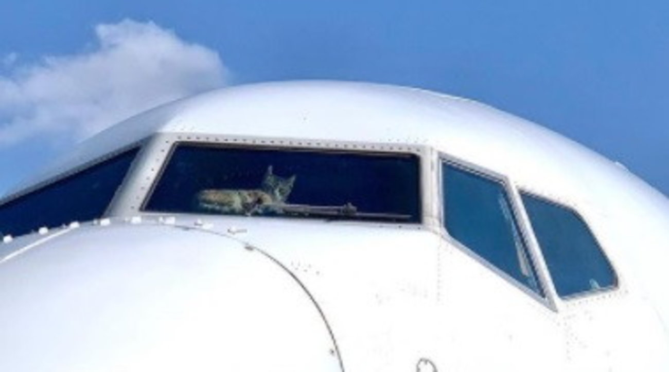 Tel Aviv, gatto rinchiuso per due settimane nella cabina di pilotaggio di un aereo a terra dal 24 gennaio