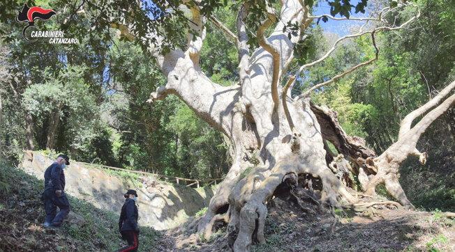 """E' il platano di Curinga a rappresentare l'Italia nel contest """"European Tree of the Year"""""""