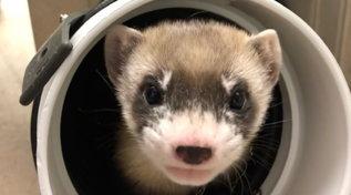 Un furetto clonato per salvare la sua specie dall'estinzione