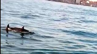 Venezia, coppia di delfini avvistata nelCanal Grande