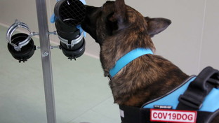 """Coronavirus, a Roma si addestrano i cani capaci di """"fiutarlo"""" dal sudore dei passanti"""