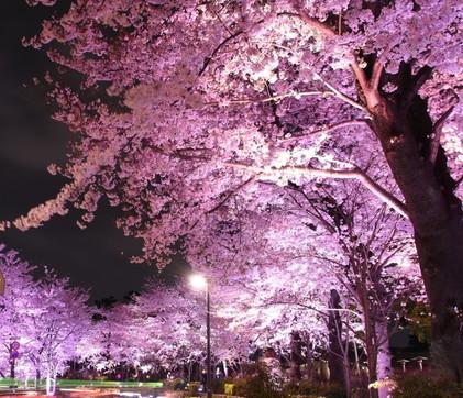 Giappone: in streaming l'incantevole fioritura dei ciliegi