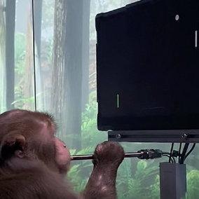Videogiochi: una scimmia gioca a Pong con la mente grazie a Neuralink