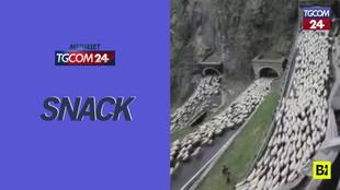 Treviso, la spettacolare transumanza delle pecore tra tornanti e gallerie