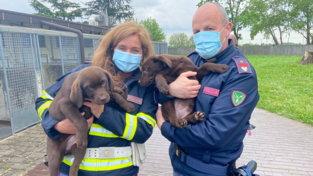 Dai labrador ai bracchi, sequestrati 36 cuccioli arrivati dalla Serbia