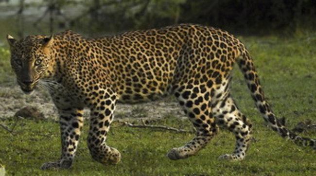 Cina, tre leopardi fuggono dallo zoo: l'allarme scatta dopo una settimana
