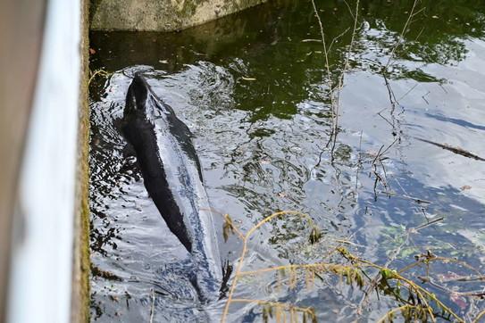 Londra, balenottera incastrata nelle chiuse del Tamigi: abbattuta