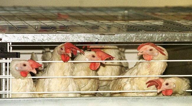 Stop agli allevamenti in gabbia, l'Emilia Romagna fa da apripista in Italia e approva la risoluzione