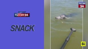La foca è stanca… e si fa dare un passaggio su una tavola da paddle
