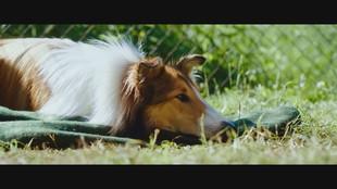 """""""Lassie torna a casa"""", ritorna il cane più famoso del cinema"""