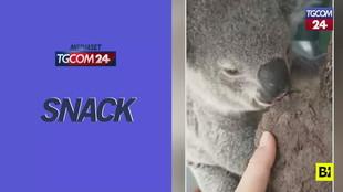 I koala? Tenerissimi, ma con dei gusti decisamente strani