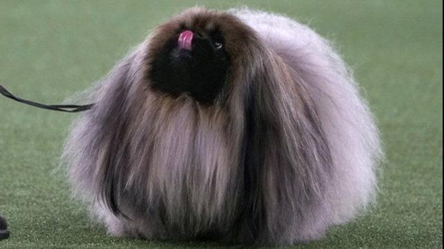 E' il pechinese Wasabiil cane più bello d'America