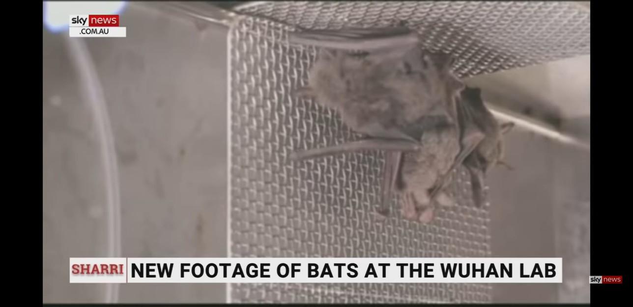 Pipistrelli vivi nel laboratorio di Wuhan, le prove in un servizio tv