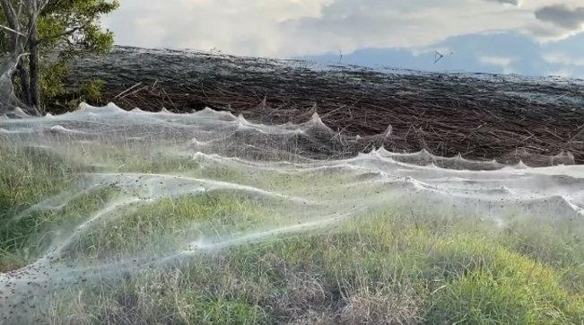 """Australia invasa dai ragni, chilometri di ragnatele """"imprigionano"""" i campi"""