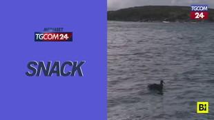 Australia, uno squalo bianco divora un uccello davanti ai turisti