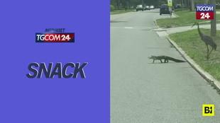 Florida, alligatore attraversa la strada inseguito da tre gru