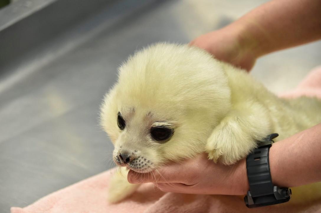 Ecco Arale, la baby foca mascotte dell'Acquario di Osaka